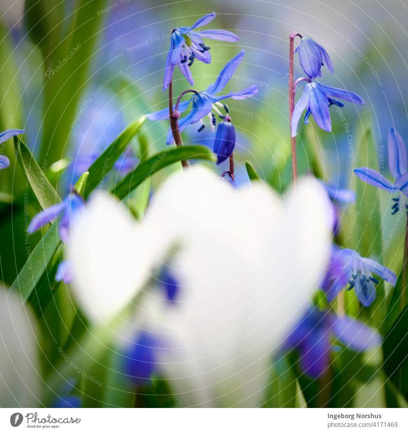 Blue scilla in focus and blurred white crocus in foreground Flower flowers Crocus White green Shallow depth of field Depth of field depth blur Spring