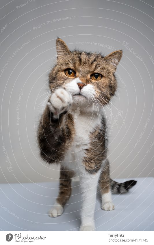 tabby white cat trying to reach camera looking sad one animal fur feline shorthair cat studio shot looking at camera reaching raising paw playful playing hungry