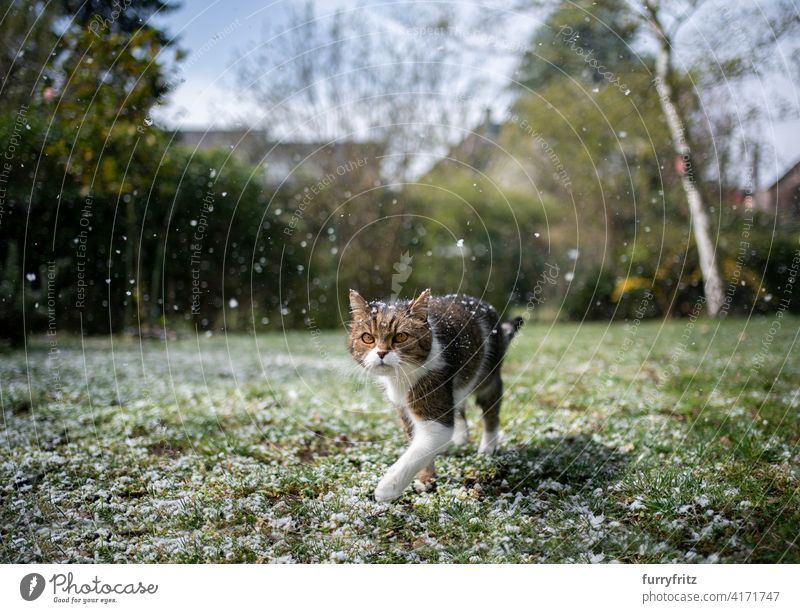 cat walking through snowy garden one animal fur feline shorthair cat white tabby looking outdoors nature front or backyard lawn meadow grass snowing green