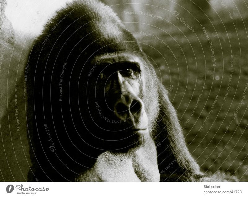 King without empire Gorilla Grief Transport zoo animal Black & white photo Looking Sadness