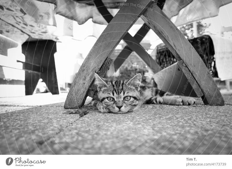 a very small tomcat lies under a wooden table in the garden Garden hangover Cat putty Taby Animal Pet Pelt Domestic cat Animal portrait Looking Animal face