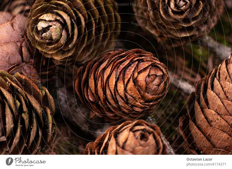 Dry brown pine cones bunched up together in a forest on the ground close up shot ornament design pinecone foliage view fall many wilderness detail isolated