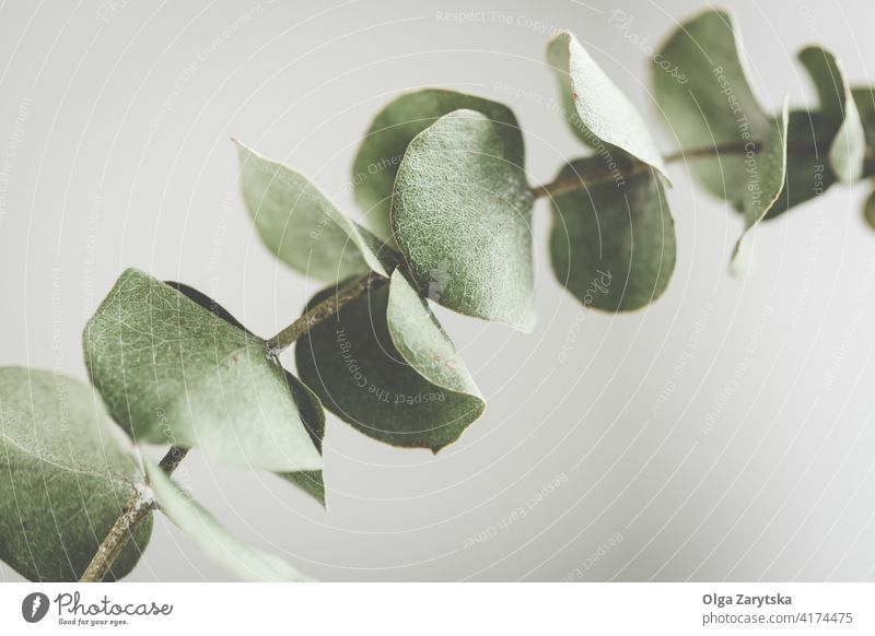 Dry eucalyptus branch green foliage leaf dry close up background plant natural floral one botany leaves tropical pastel