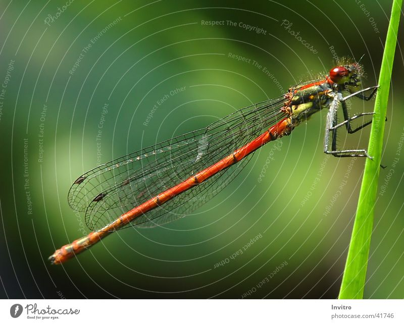 Wing Insect Blade of grass Dragonfly Large red damselfly