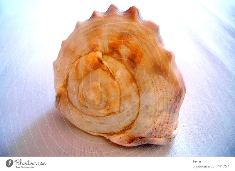 Ocean Mussel Snail Spiral