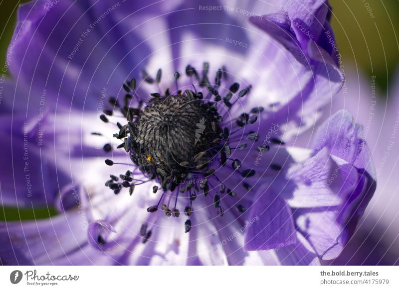 Anemone purple / violet anemone Flower Blossom Plant Blossoming Nature Spring Garden Shallow depth of field Macro (Extreme close-up) Colour photo Exterior shot