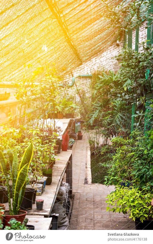 Greenhouse glasshouse sunny interior full of fresh green plants. Modern interior architecture design. Natural Indoor decorative plants. Lush botanical garden. Beautiful spring background.