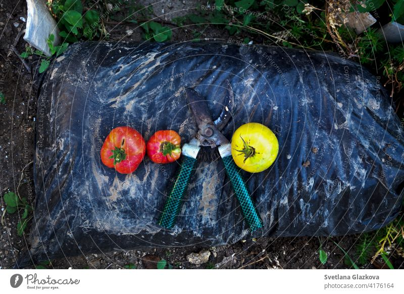 Gardening supplies. Pruner, crop of red and yellow tomatoes on a bag of fertilizer background baskets burlap clay close-up closeup concept containers cultivate