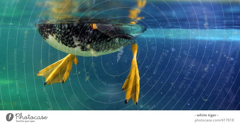 Duck under water Water Summer Animal Bird Wing 1 Swimming & Bathing Blue Yellow Green Algae Surface of water Colour photo Close-up Underwater photo Deserted