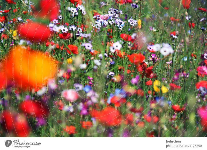 again and again on mo(h)ndays poppy flower blurriness Leaf Grass Blossoming Beautiful weather Meadow pretty Agricultural crop Light Landscape Summery Wild plant