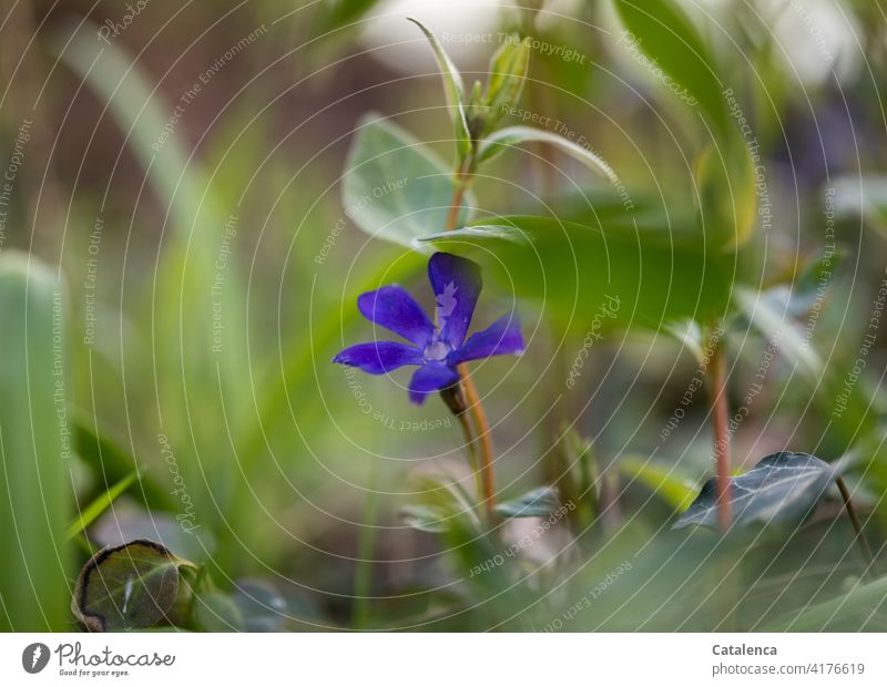 The blue flower of the small periwinkle in the garden Garden daylight Day blossom fade handle Leaf Blossom Flower Nature flora wax blossoms Blossom leave Plant
