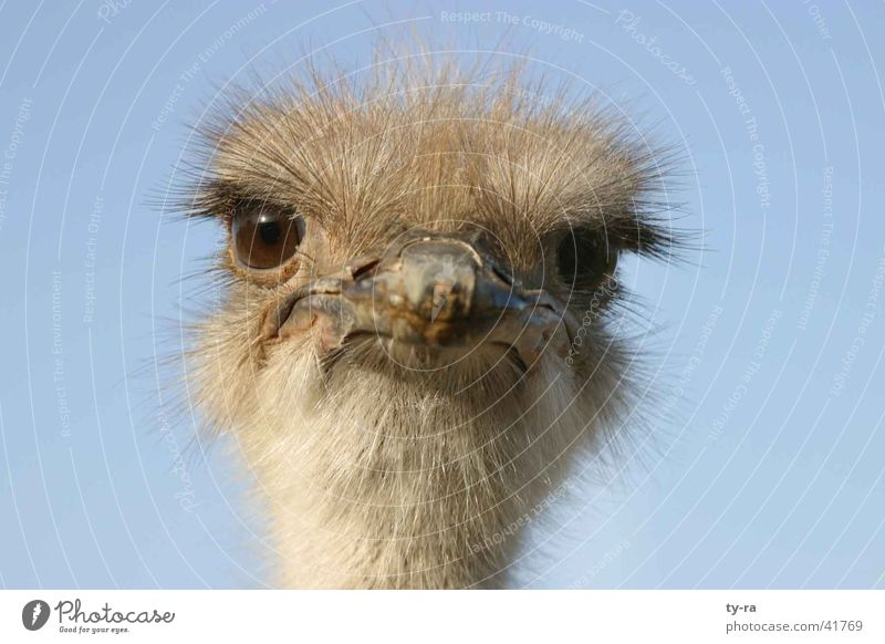 What are you looking at? Emu Bird Frontal Feather Beak crazy Bouquet Blue Eyes
