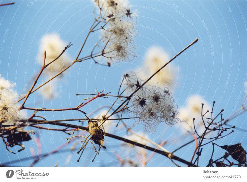 Sky Blossom Bushes Twig