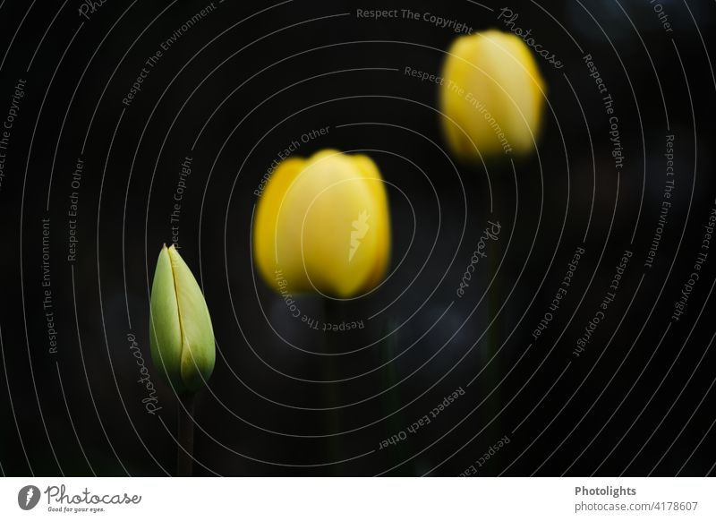 Closed yellow tulips against dark background Leaf Deserted Green Plant Colour photo Blossoming Spring flower Flower Tulip blossom Blossom leave Flower stems