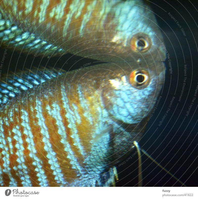 dwarf gourami Aquarium Labyrinth fish