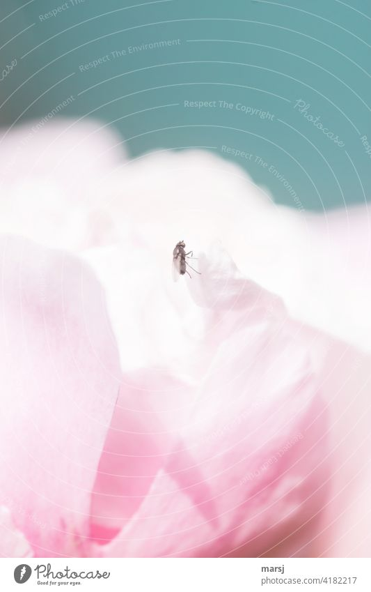 I wonder if the view is better up there. A fly on a petal of a peony. Flower Blossom naturally Pink Peony Plant Elegant Mysterious Hope Inspiration