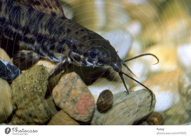 callus catfish Ornamental fish Aquarium Wels Macro (Extreme close-up)