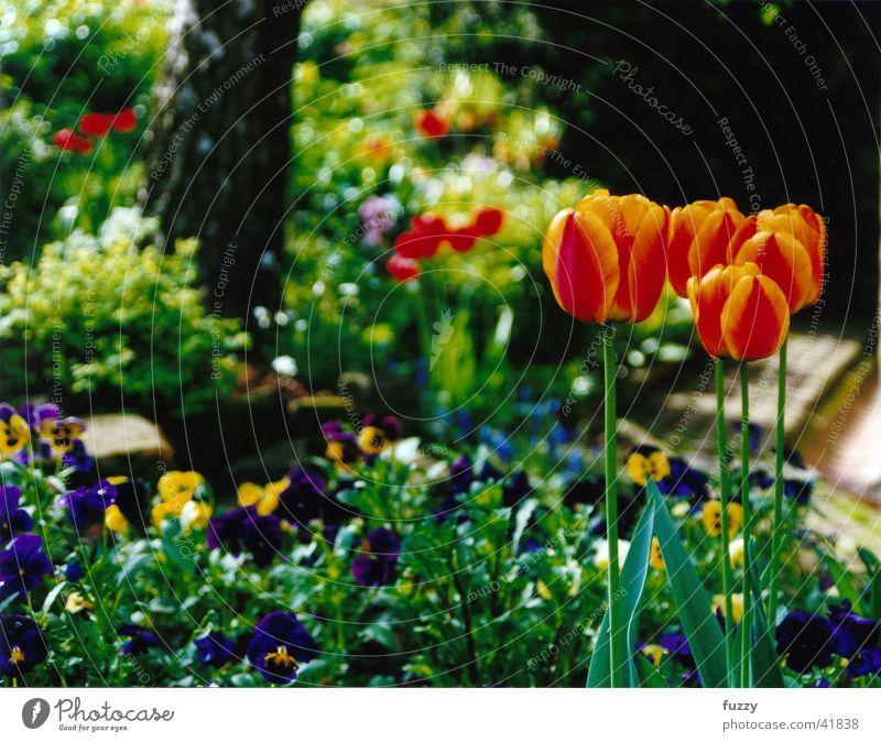 tulip garden Garden Tulips Flowers