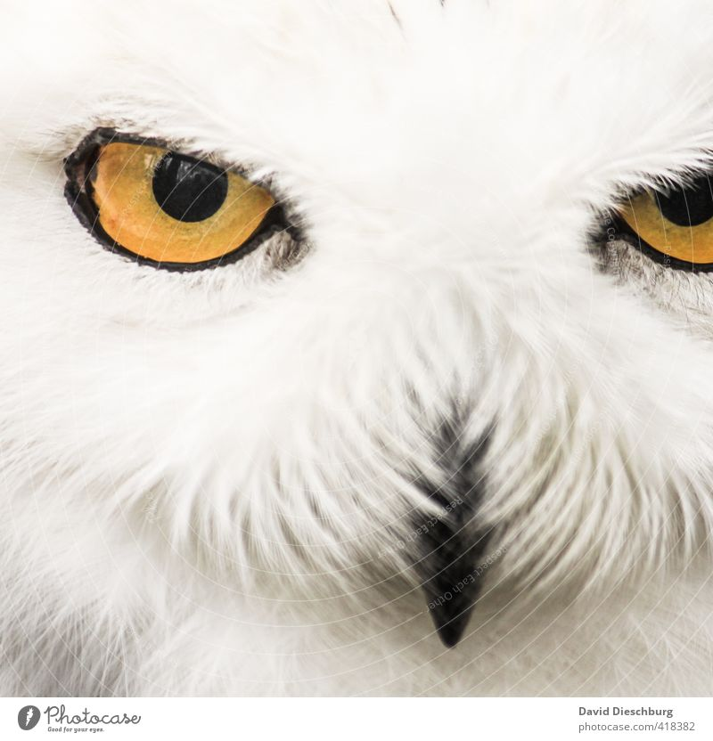 In the eye of the hunter Forest Wild animal 1 Animal Yellow Black White Snowy owl Hunter Eyes Beak Feather Head Evil Focus on Appetite Reflection Looking