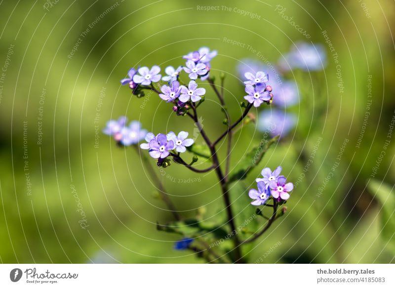 FORGET-ME-NOT Forget-me-not forget-me-not flower Blue Spring Flower Blossom Plant Nature Colour photo Blossoming Shallow depth of field Close-up Exterior shot
