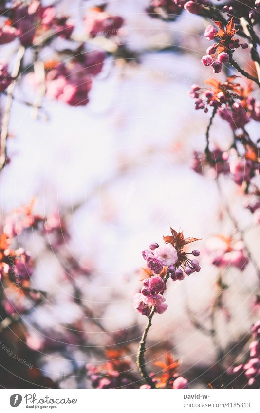 Blossoms of a Japanese flowering cherry in spring Japanese flower cherry Ornamental cherry Pink blossom Spring sunshine Gorgeous blossoms Nature Beauty & Beauty