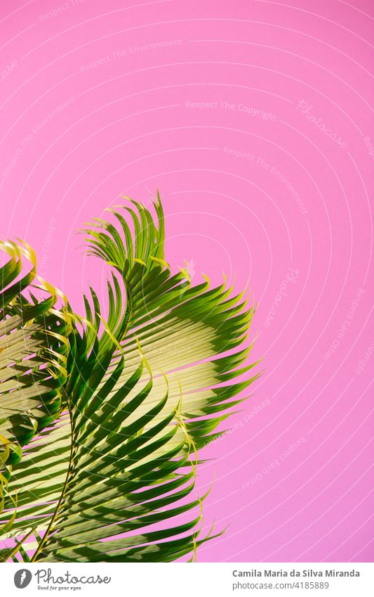 Coconut tree against the sky unusual pink color. Tropical background asia beach bright clear climate coast coconut exotic fantastic green holiday idyllic