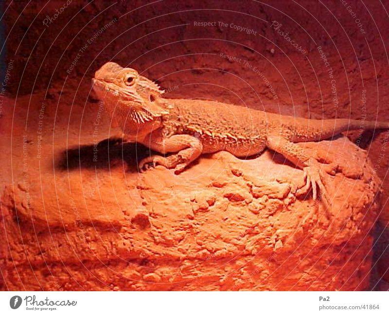 sunbath Reptiles Saurians Nature