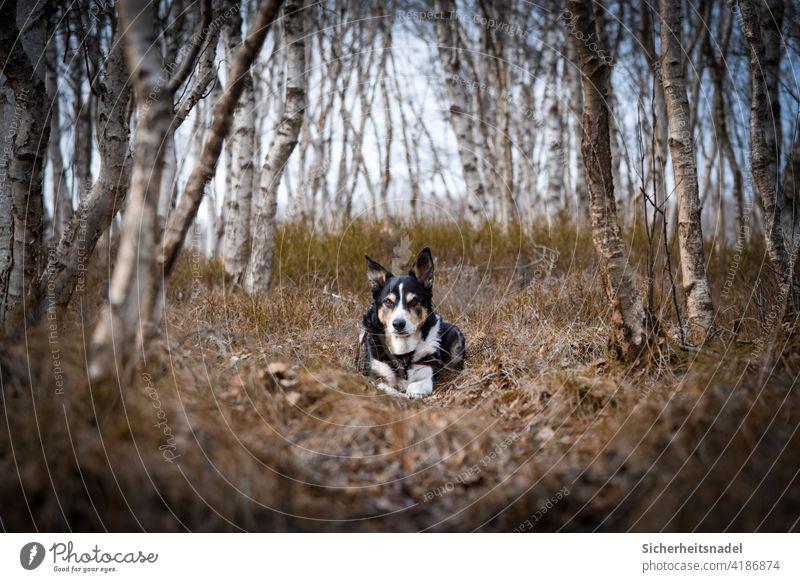 Border Collie in birch forest border collie Dog Animal portrait Pet Exterior shot Puppydog eyes Deserted Forest Looking into the camera Birch wood