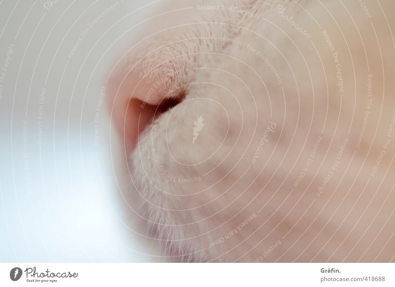 always following the nose Pet Cat Animal face 1 Breathe Cuddly Pink White Love of animals Serene Patient Calm Snout Nose Colour photo Interior shot Close-up
