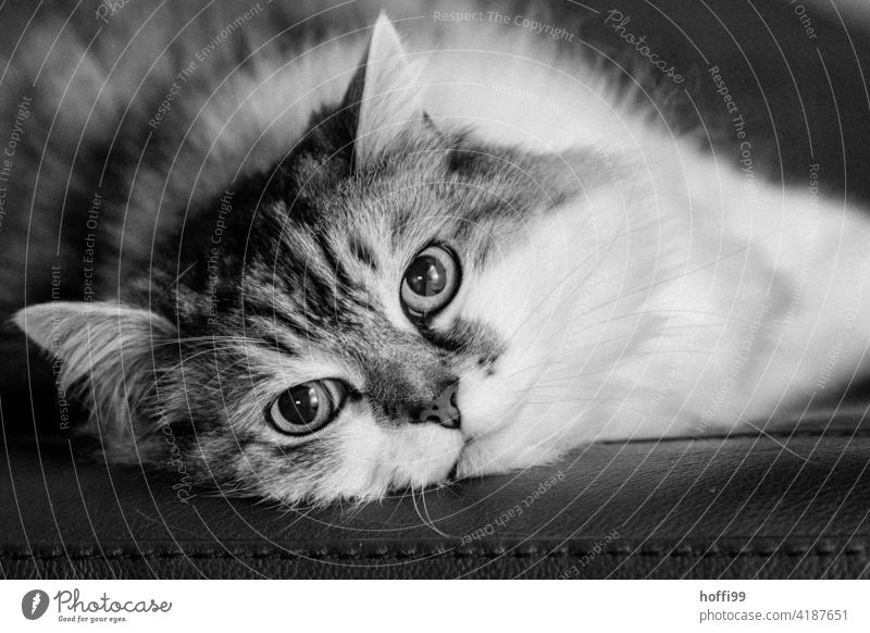 The cat looks into the camera Cat Pet Domestic cat Cat eyes Animal face Cat's head Cute Whisker Snout Eyes Curiosity Cat's ears Cuddly Looking into the camera