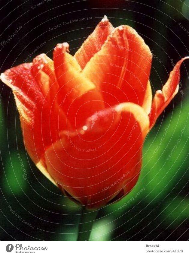 Flower Plant Blossom Tulip