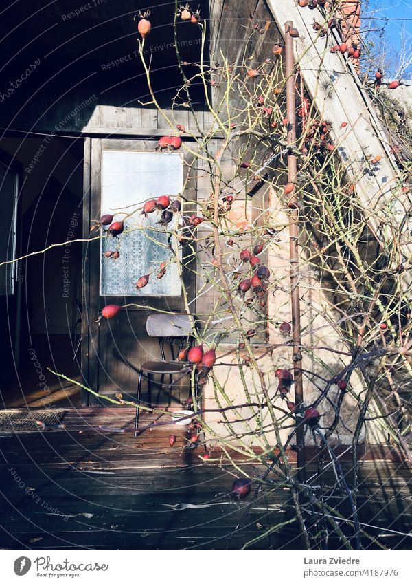 That old summer house with rose plant in autumn old house Light House (Residential Structure) Window Doors Old chair Chair Rose plant Rose tree Plant Rose hip