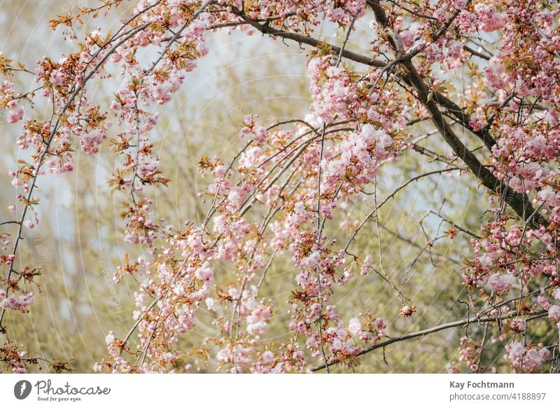Prunus serrulata in bloom during springtime beautiful beauty blooming blossom branch bright cherry decoration flowers fresh fukushima japanese leaf natural