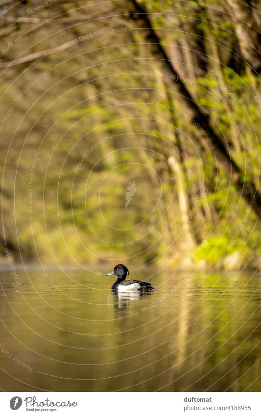 Low level image of a great crested grebe water bird in green landscape Spring Nature Bird naturally Sunlight Reflection Seasons Shallow depth of field Water
