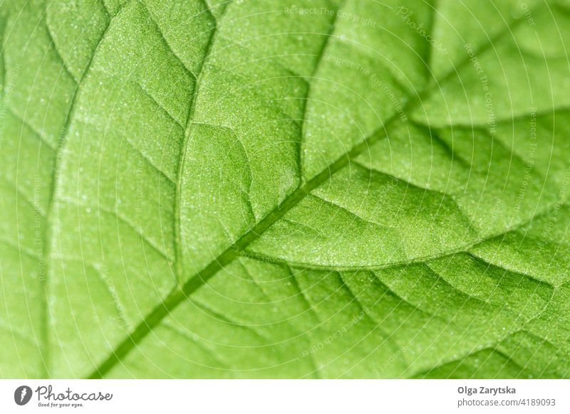Bright green leaf texture. srtucture detail background macro lines health organic vein close up eco nature fresh selective focus backlit pattern plant bright