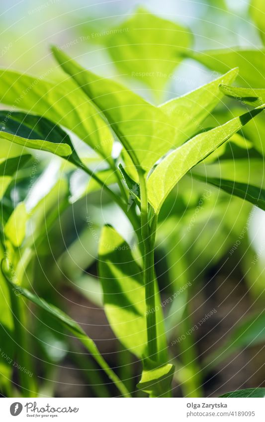 Young pepper seedlings. backlit agriculture plant grow organic garden spring young environmental vegetable home sustainability