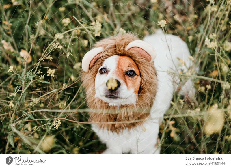 cute jack russell dog wearing a lion costume on head. Happy dog outdoors in nature in yellow flowers meadow. Sunny spring fun country sunny small easter beauty