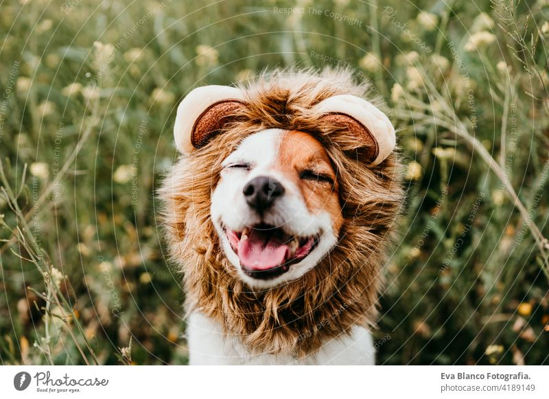 cute jack russell dog wearing a lion costume on head with eyes closed. Happy dog outdoors in nature in yellow flowers meadow. Sunny spring fun country sunny