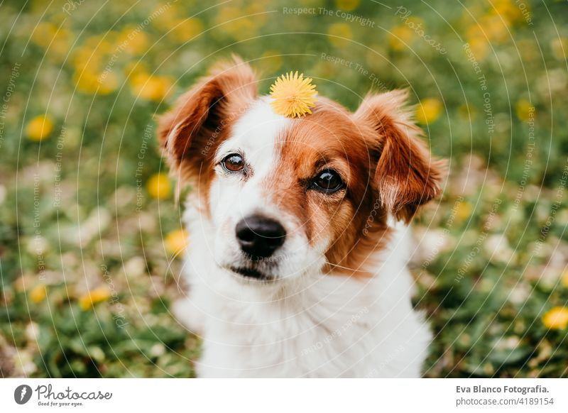 cute jack russell dog with yellow flower on head. Happy dog outdoors in nature in yellow flowers park. Sunny spring fun country sunny small easter beauty