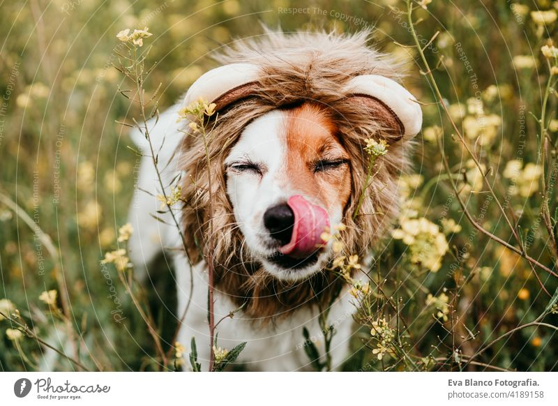 cute jack russell dog wearing a lion costume on head. Happy dog licking nose with tongue outdoors in nature in yellow flowers meadow. Sunny spring fun country