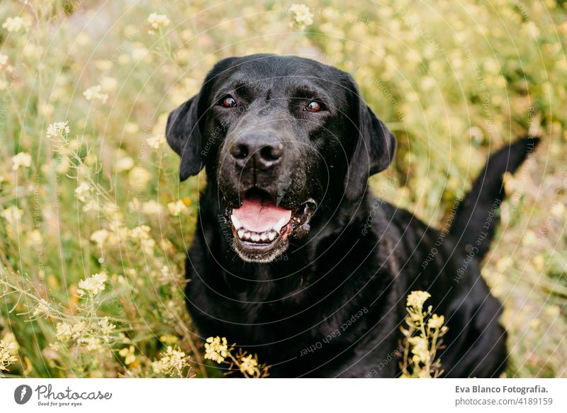 Happy Black labrador dog outdoors in nature in yellow flowers meadow. Sunny spring black labrador lion costume fun country sunny cute small easter beauty