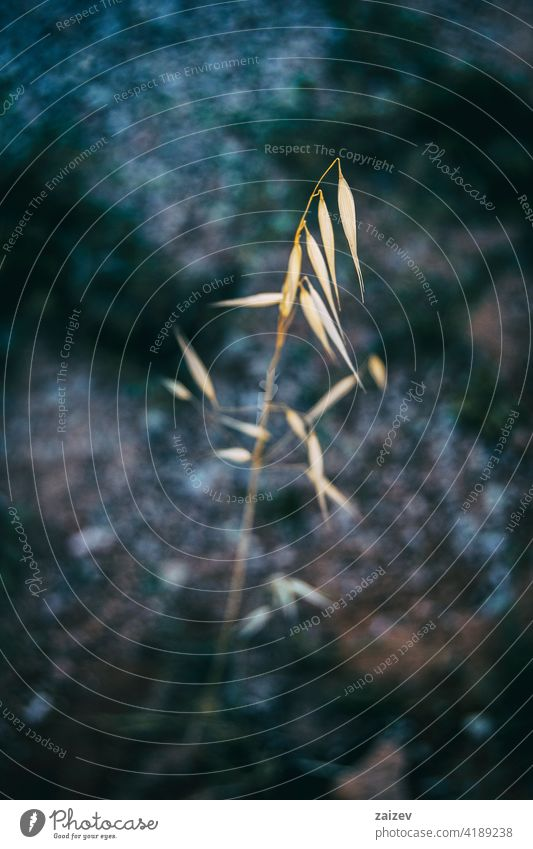 a single dry yellow spike of oats in a field avena cereal plant agriculture background farm branch brown closeup nature fall macro outdoors seed botanic detail