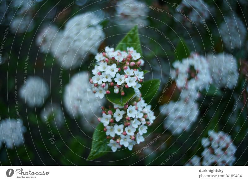Evergreen snowball shrub for early flowering with white, green and pink Snowball Nature Colour photo Bushes Plant Shallow depth of field Copy Space bottom White
