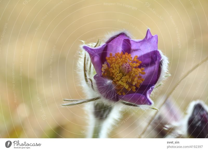 Pulsatilla patens flower head with purple petals and orange center outdoors close-up. Pulsatilla patens, eastern pasqueflower, spreading anemone. Blooming purple fluffy snowdrop bud close-up.