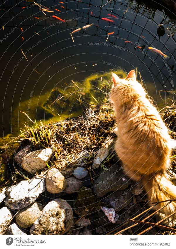 Catchquote | a big red-haired cat sits at a pond and watches the goldfishes Fish Fishing quota fishing Overfishing Fishery Observe To feed Red Red-haired
