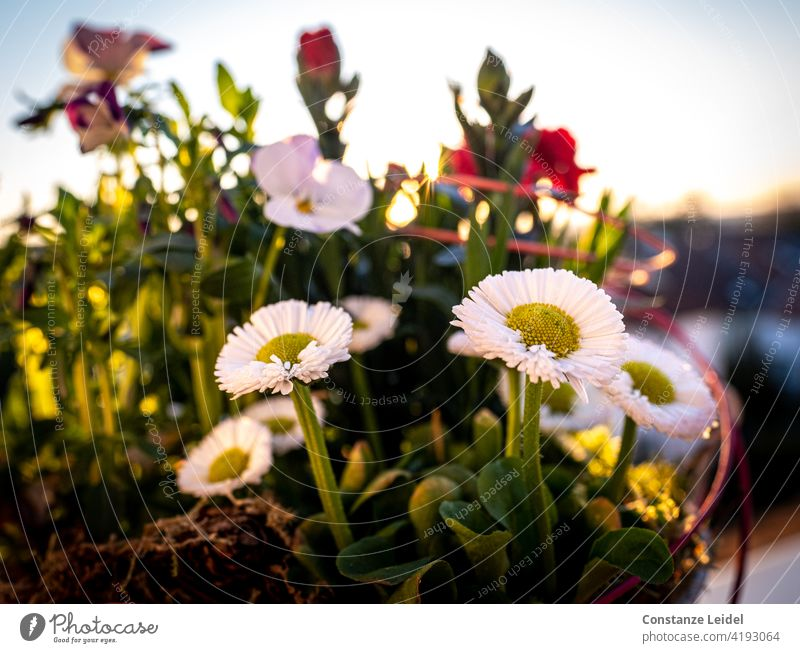 Daisies on the balcony in the evening light. Daisy Balcony Sunset Sunlight Exterior shot Colour photo Plant Flower Day Close-up Summer Nature Blossom Green