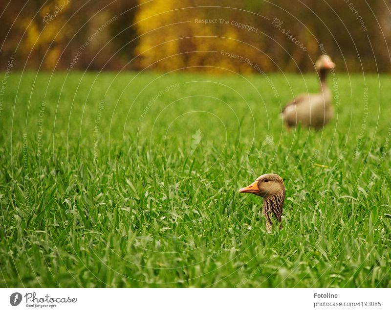 Two geese are playing hide and seek. One is searching, the other is looking to see if anyone is looking. Goose Nature Bird Animal Exterior shot Wild animal
