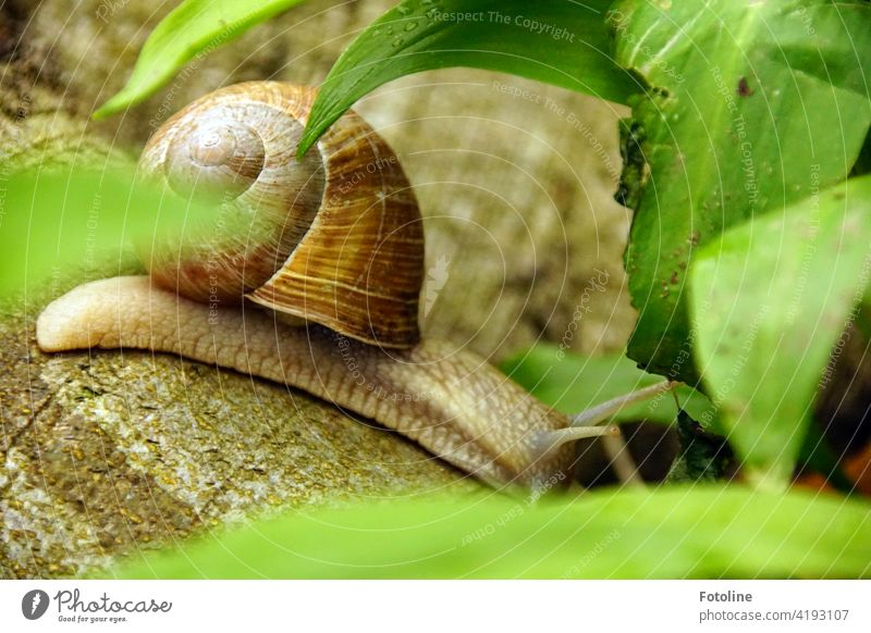 In the forest between wild garlic leaves - the Roman snail crawls in search of.... yes what for? Forest Woodground Club moss wild vegetables Leaf Green