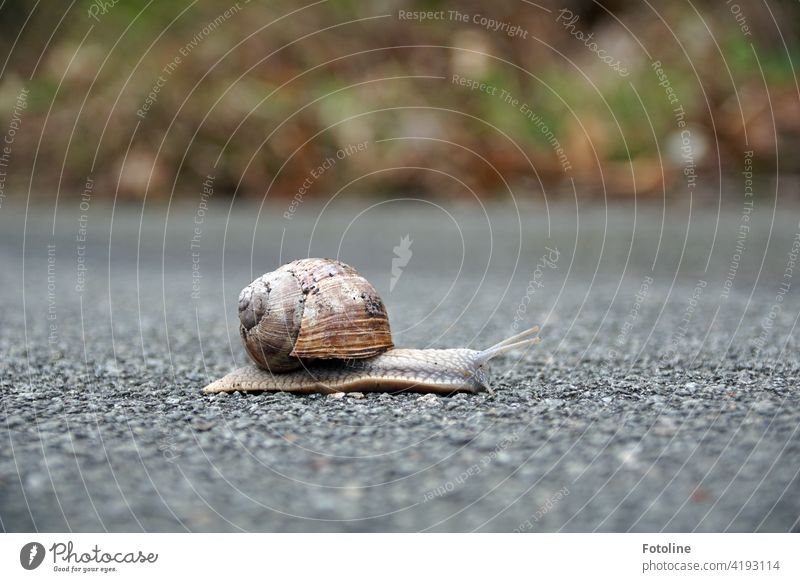 Slowly the snail crawls across the path and ponders how to get across quickly without being run over or trampled. I have once intervened and put them on the other side of the road. Of course only after the photo.