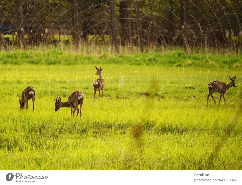 Finally the winter is over and there is fresh green again, which attracts the deer and makes them forget that the photoline is tramping through the undergrowth to photograph them.